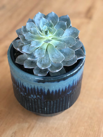 Succulent in Blue Ombré Pot