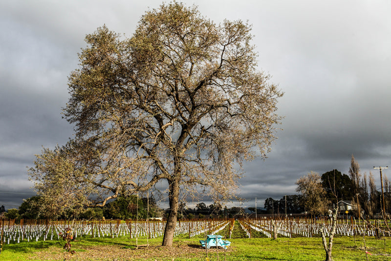 Art House Wines | Oak Tree and Vineyard