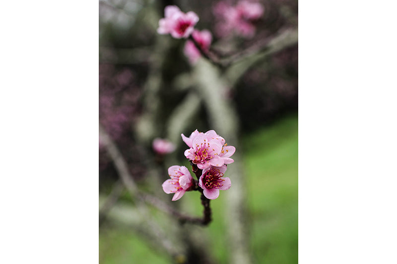 Art House Wines | Fruit Tree Blossoms