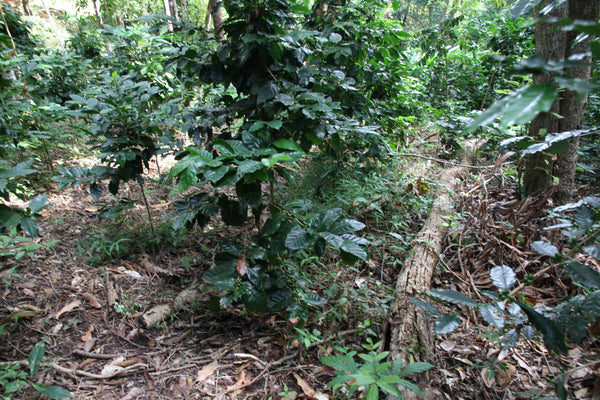 Shade Grown Coffee - Better for You Better for the Planet