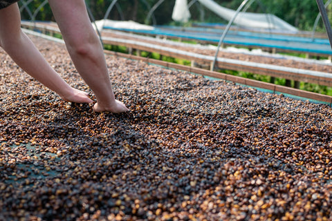 coffee drying with mucilage