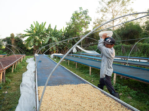 coffee on a raised drying bed