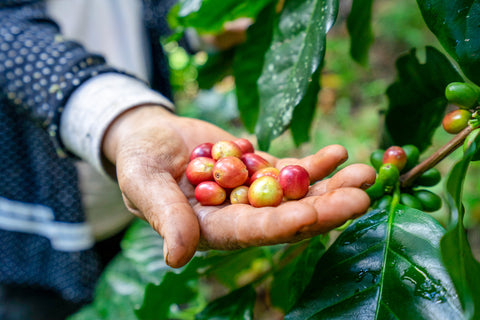 coffee cherries from Thailand
