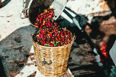 Coffee cherries being harvested