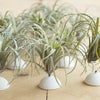 Air Plant set of 12