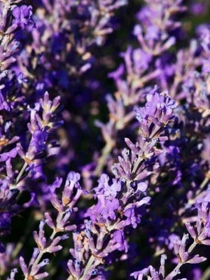 Lavender, one of the many raw ingredients we use.