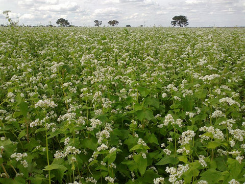 Field of buckwheat in Brazil