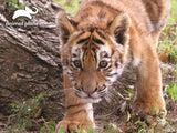 Tiger 63pc Prime 3D Effect Animal Planet Jigsaw Puzzle