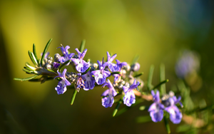 Rosemary Stimulates Hair Growth