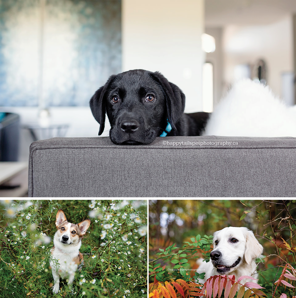 black dog on couch, corgi in park, white dog in leaves, dog photography tips from happy tails photography