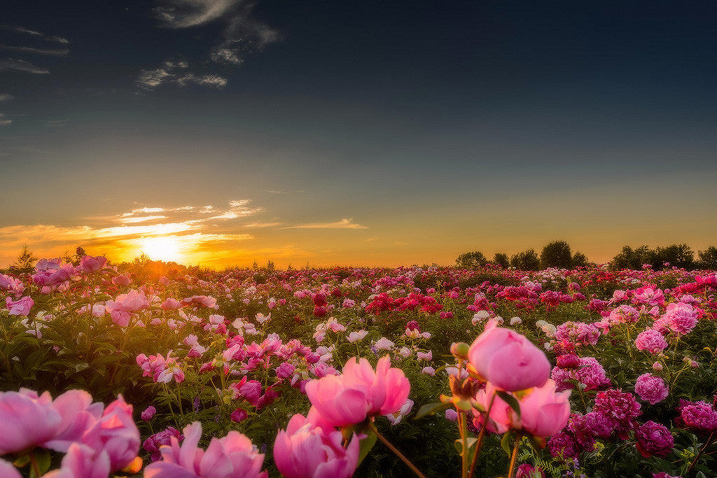 Beautiful Landscape Nature Sunset Flowers Poster
