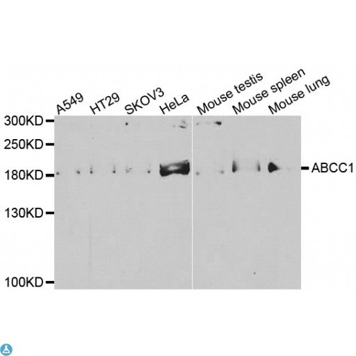 Buy Anti-ABCC1 Antibody Online from St John Labs