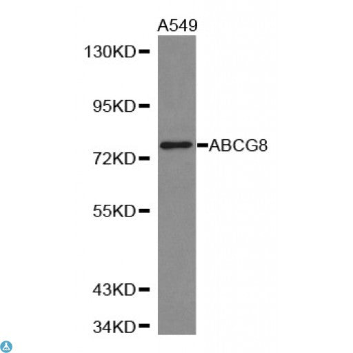 Buy Anti-ABCG8 Antibody Online from St John Labs
