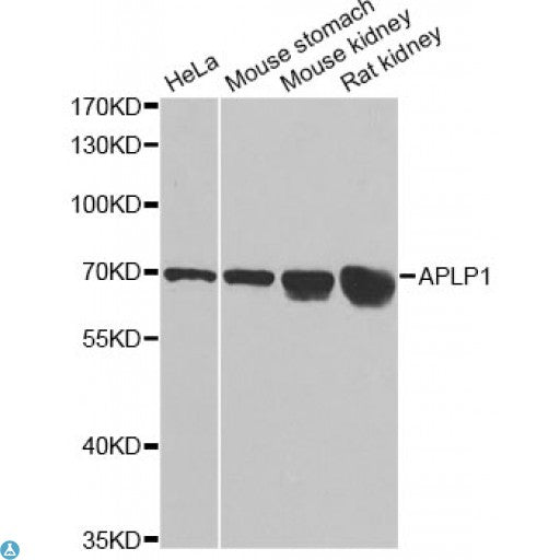 Buy Anti-APLP1 Antibody Online from St John Labs