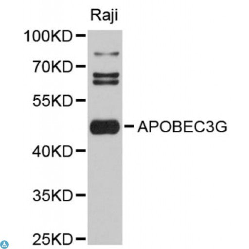 Buy Anti-APOBEC3G Antibody Online from St John Labs