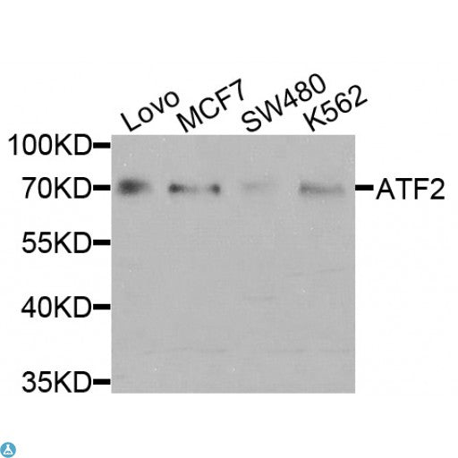 Buy Anti-ATF2 Antibody Online from St John Labs