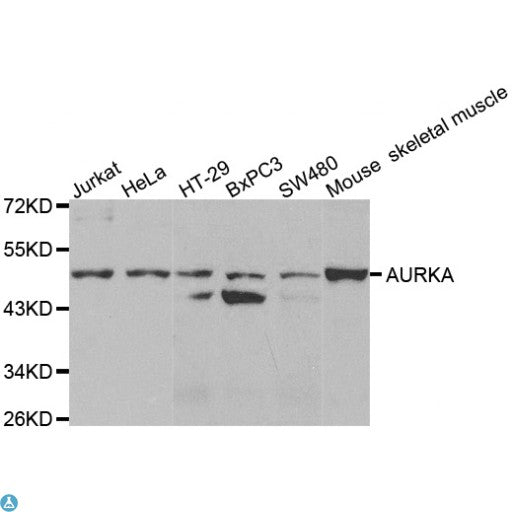 Buy Anti-AURKA Antibody Online from St John Labs