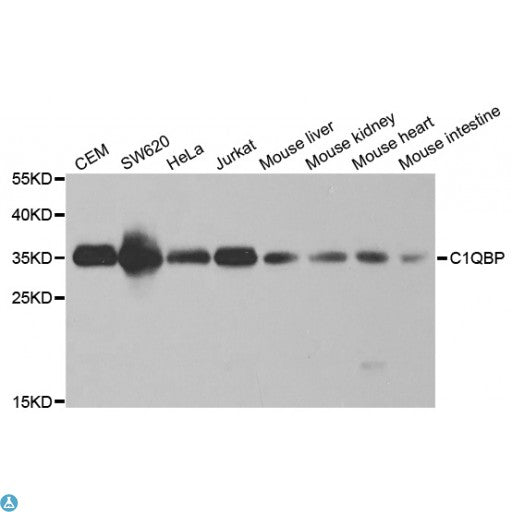 Buy Anti-C1QBP Antibody Online from St John Labs
