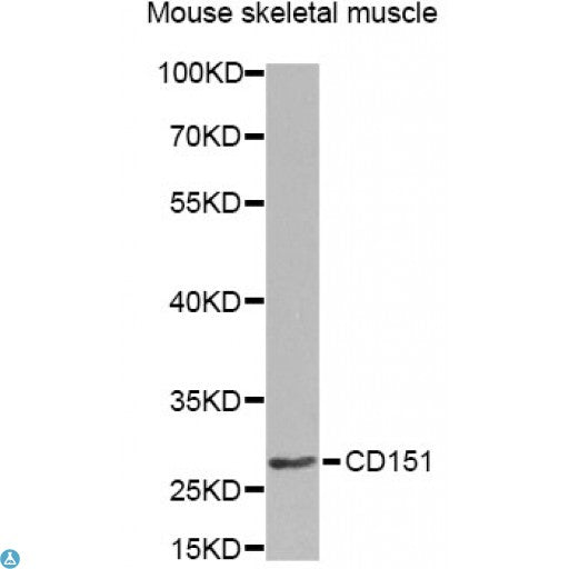 Buy Anti-CD151 Antibody Online from St John Labs