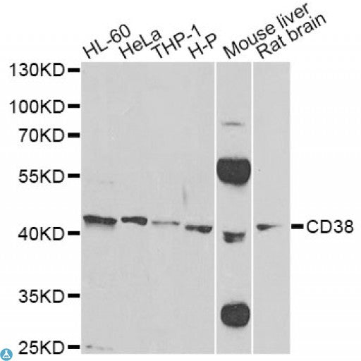 Buy Anti-CD38 Antibody Online from St John Labs
