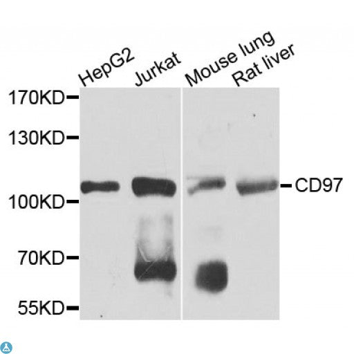 Buy Anti-CD97 Antibody Online from St John Labs