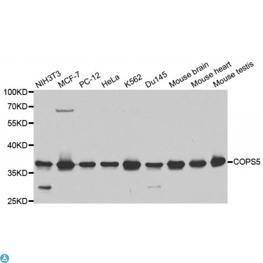 Buy Anti-COPS5 Antibody Online from St John Labs