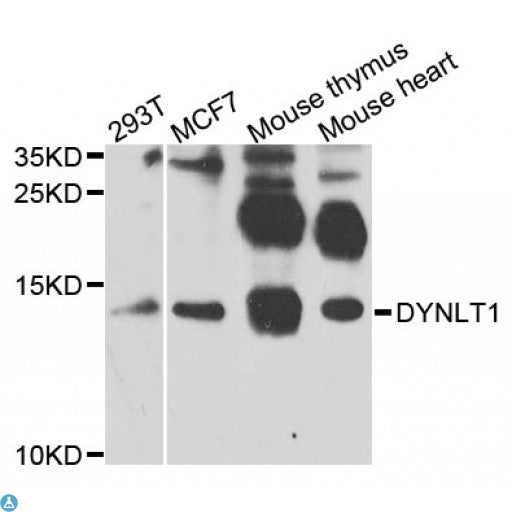 Buy Anti-DYNLT1 Antibody Online from St John Labs