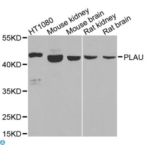 Buy Anti-PLAU Antibody Online from St John Labs