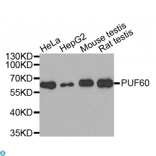 Buy Anti-PUF60 Antibody Online from St John Labs