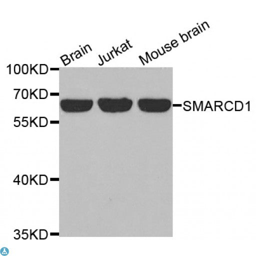 Buy Anti-SMARCD1 Antibody Online from St John Labs