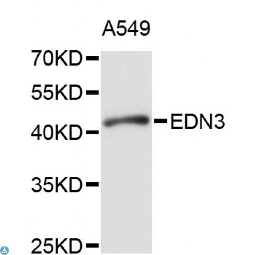 Buy Anti-EDN3 Antibody Online from St John Labs