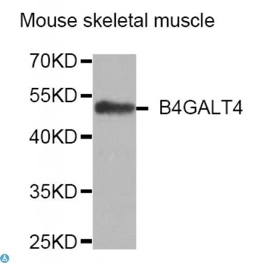 Buy Anti-B4GALT4 Antibody Online from St John Labs
