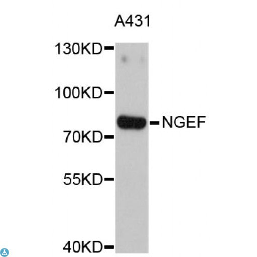 Buy Anti-NGEF Antibody Online from St John Labs