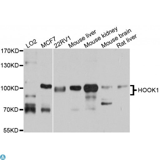 Buy Anti-HOOK1 Antibody Online from St John Labs