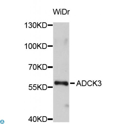 Buy Anti-ADCK3 Antibody Online from St John Labs