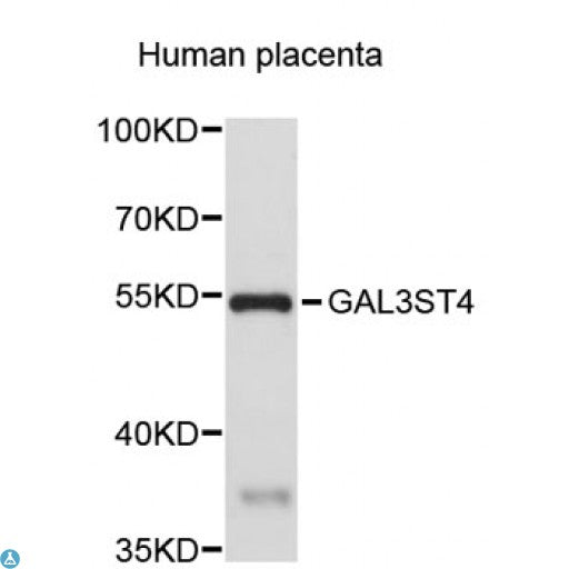 Buy Anti-GAL3ST4 Antibody Online from St John Labs