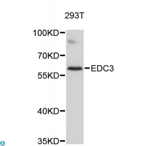Buy Anti-EDC3 Antibody Online from St John Labs