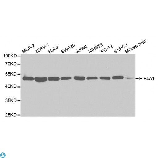 Buy Anti-EIF4A1 Antibody Online from St John Labs