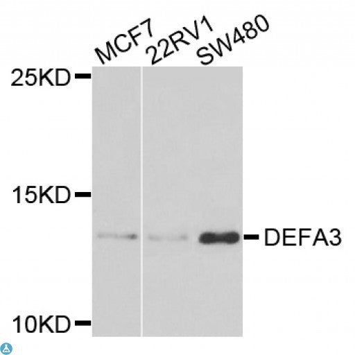 Buy Anti-DEFA3 Antibody Online from St John Labs