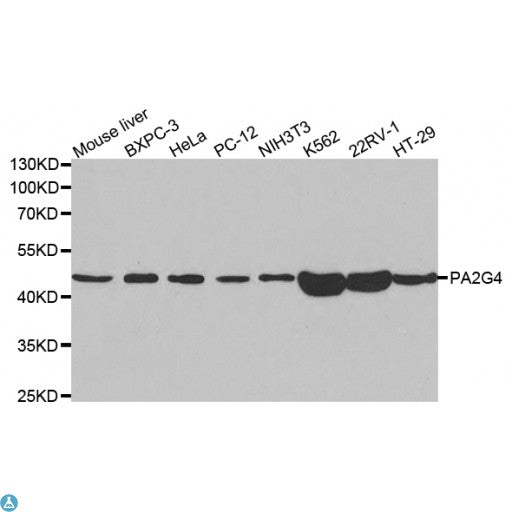 Buy Anti-PA2G4 Antibody Online from St John Labs