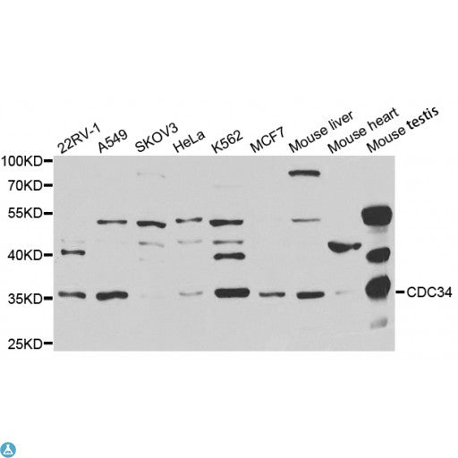 Buy Anti-CDC34 Antibody Online from St John Labs