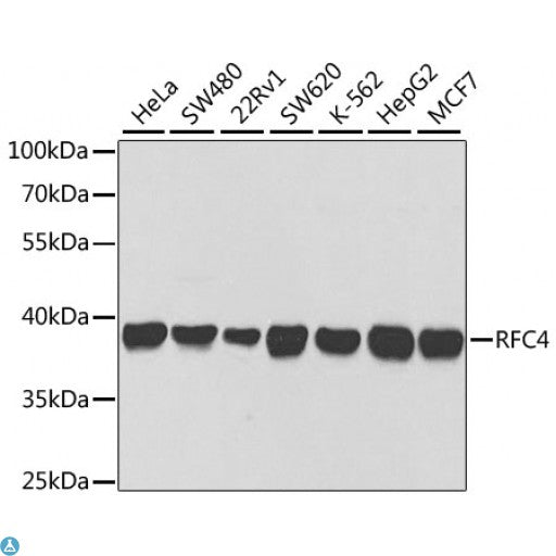 Buy Anti-RFC4 Antibody Online from St John Labs