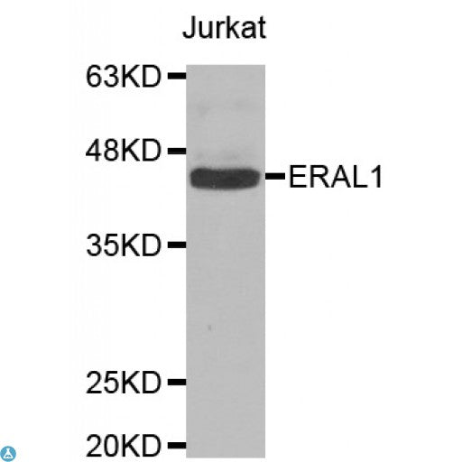 Buy Anti-ERAL1 Antibody Online from St John Labs