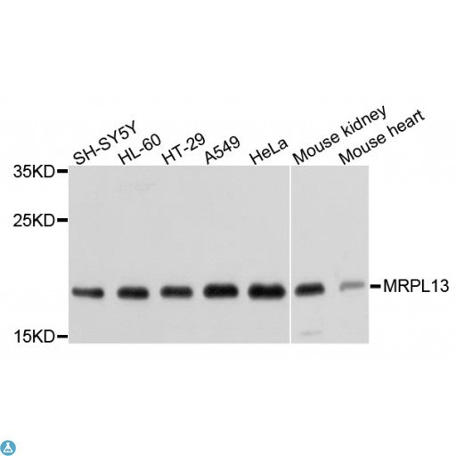 Buy Anti-MRPL13 Antibody Online from St John Labs