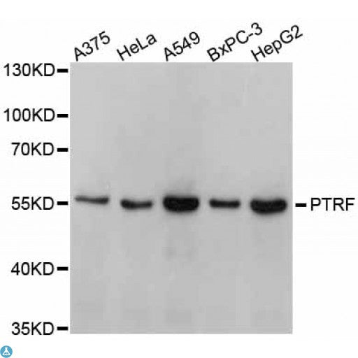 Buy Anti-PTRF Antibody Online from St John Labs