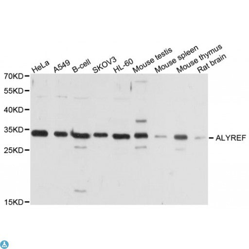 Buy Anti-ALYREF Antibody Online from St John Labs
