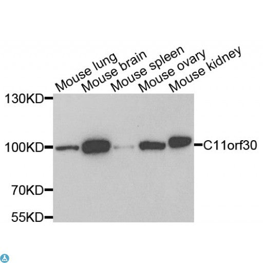 Buy Anti-C11orf30 Antibody Online from St John Labs