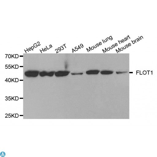 Buy Anti-FLOT1 Antibody Online from St John Labs