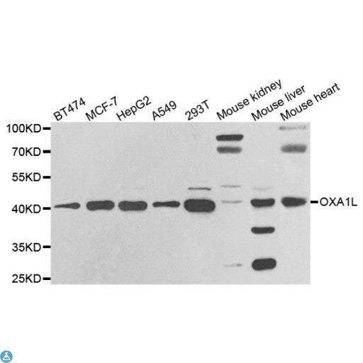 Buy Anti-OXA1L Antibody Online from St John Labs