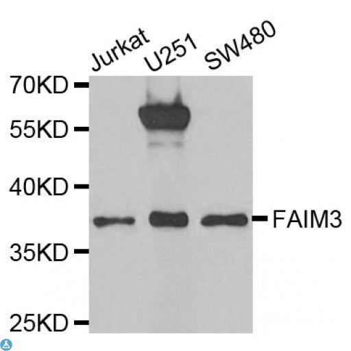 Buy Anti-FAIM3 Antibody Online from St John Labs